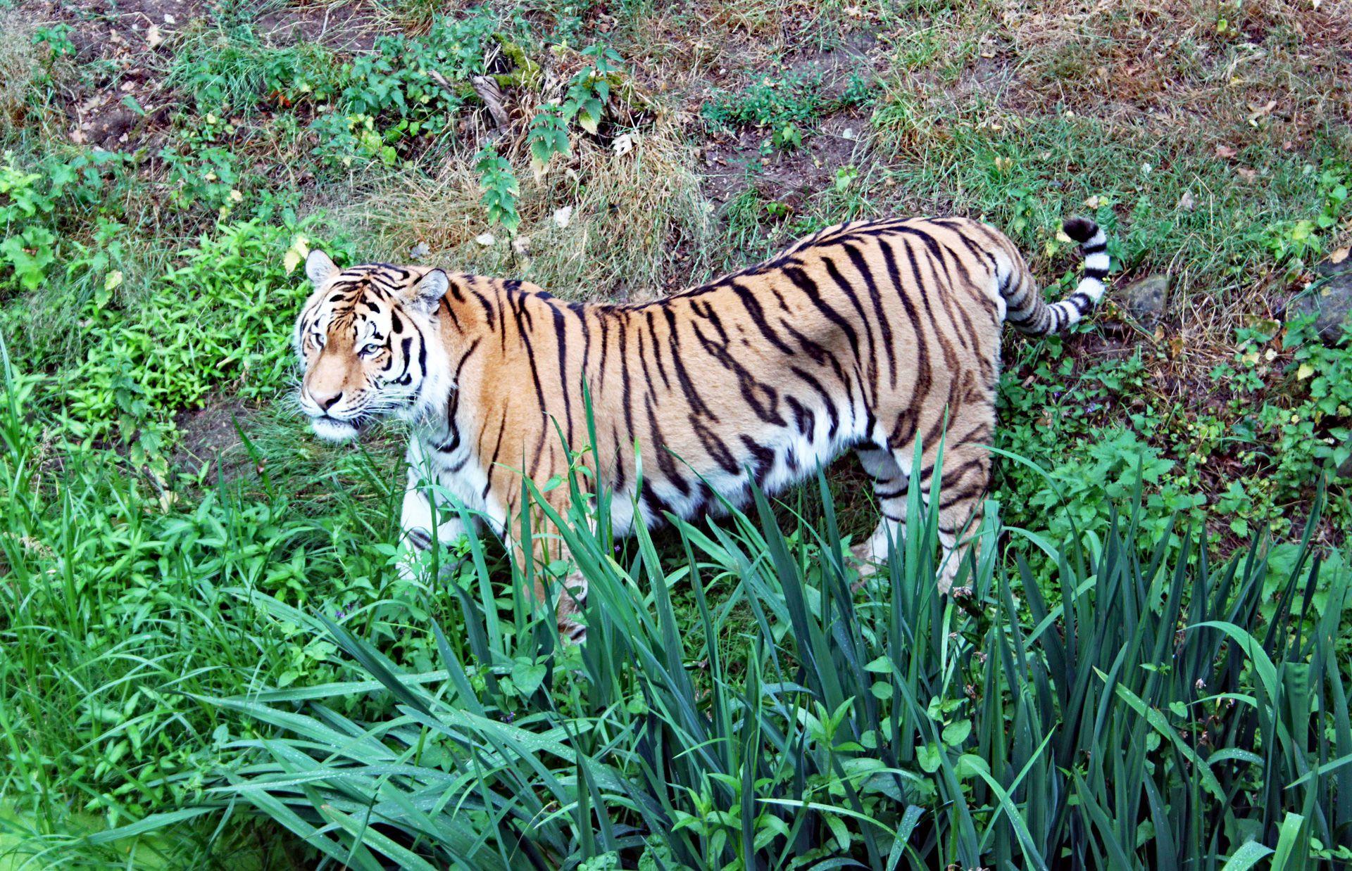 tijger1-galerij