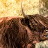 Ledengallerij Scottish Highlander-4